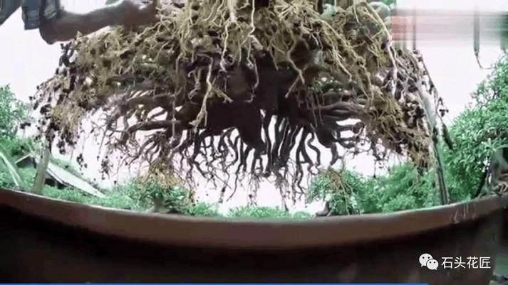 爷爷养盆景换盆 需要洗根 吊起来像是八爪鱼