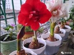朱顶红花卉的养殖方法和注意事项 图片