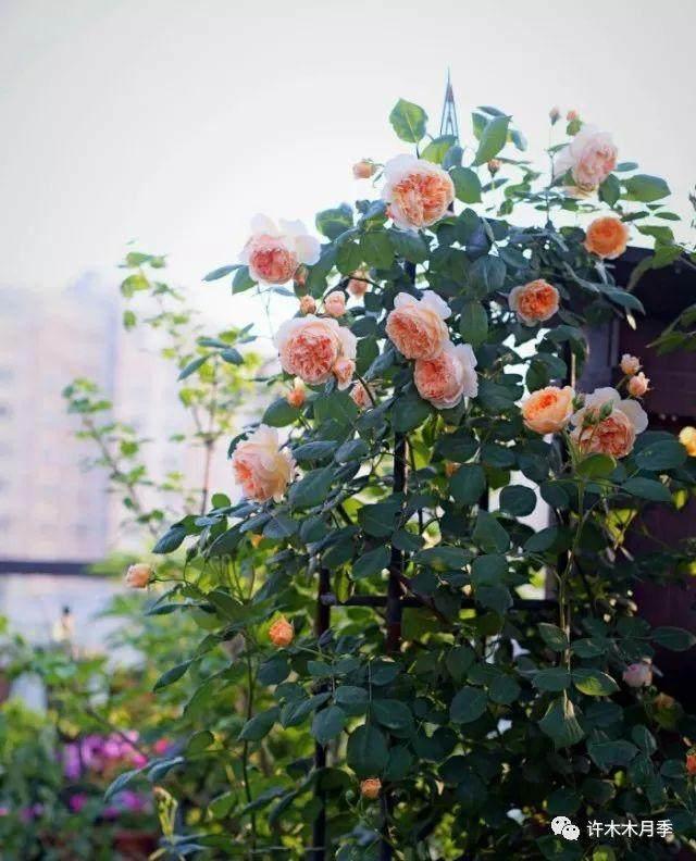 夏季月季花换盆的方法
