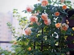 夏季月季花换盆的方法 图片