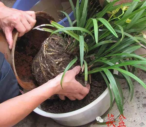盆栽翻盆和换盆的区别及具体操作步骤