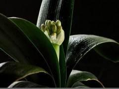 美丽的君子兰的换盆方法和养护方法!