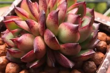 把多肉植物养成老桩 生长快速的方法?