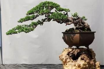 观花树桩盆景从几个方面阐述 如何欣赏?