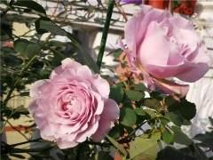 月季花在的冬季养护——换盆及冬剪实录