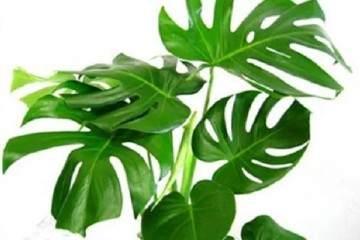 龟背竹盆栽什么时候换盆好 图片