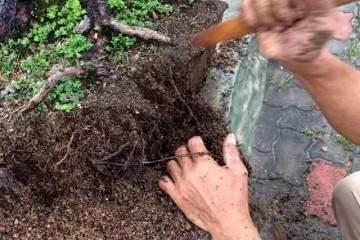 图解 松树盆景如何换盆的方法