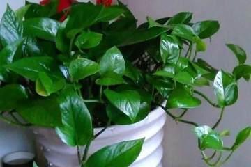 盆栽花卉没有及时换盆的花大多挂了