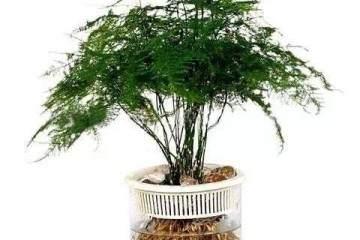 文竹盆景怎样换盆时间及移栽方法