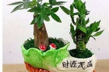如何选择富贵竹盆景的摆放位置?