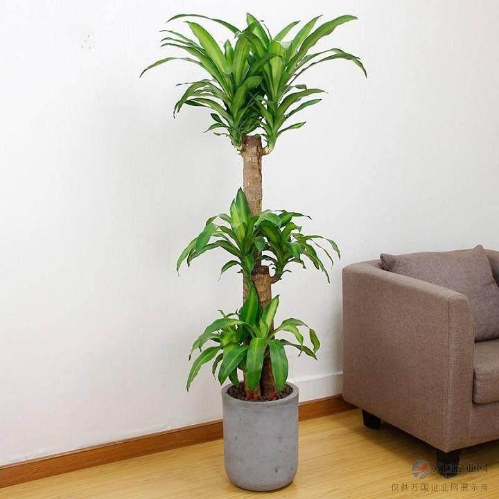富贵竹盆景的养护要领