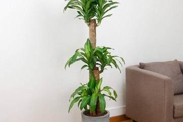 富贵竹盆景的生根养护要领 图片