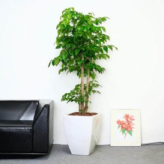 给幸福树换盆的5个注意事项