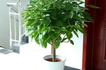 大型幸福树 如何换盆呢 图片