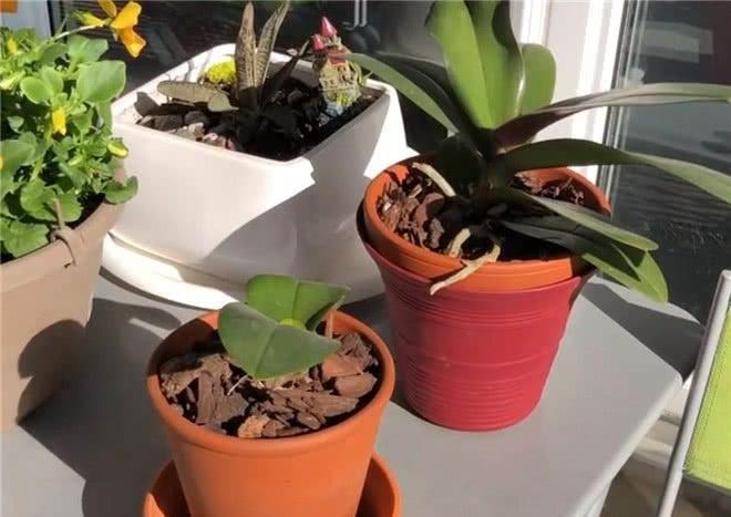 刚买的蝴蝶兰换盆的3个步骤