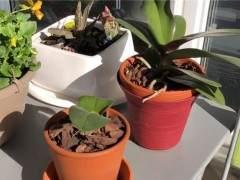 刚买的蝴蝶兰换盆的3个步骤 图片