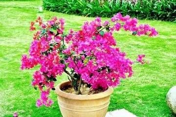 三角梅盆栽换盆移栽后叶子蔫了怎么办?