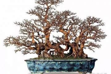 盆栽雀梅建议每年进行一次换盆换土操作