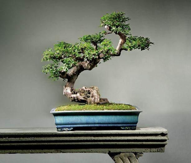 雀梅盆栽在秋季能换盆吗?