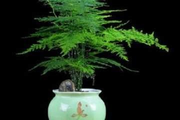 盆栽文竹 每年进行一次换盆比较合适!