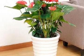 红掌盆栽换盆需要剪根修根吗 图片
