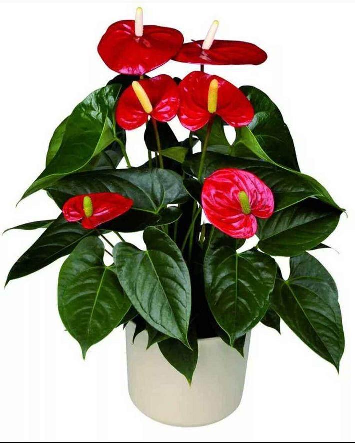 夏季给红掌盆栽换盆不容易成活的3个因素