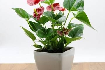 为什么定期换盆换土对于盆栽红掌至关重要?