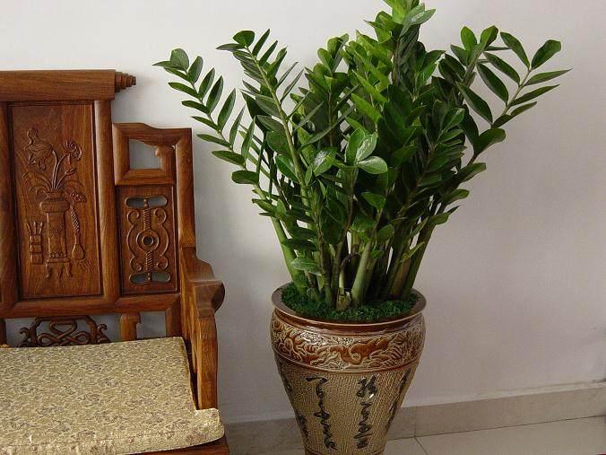 金钱树盆栽移盆或换盆后几天浇水?