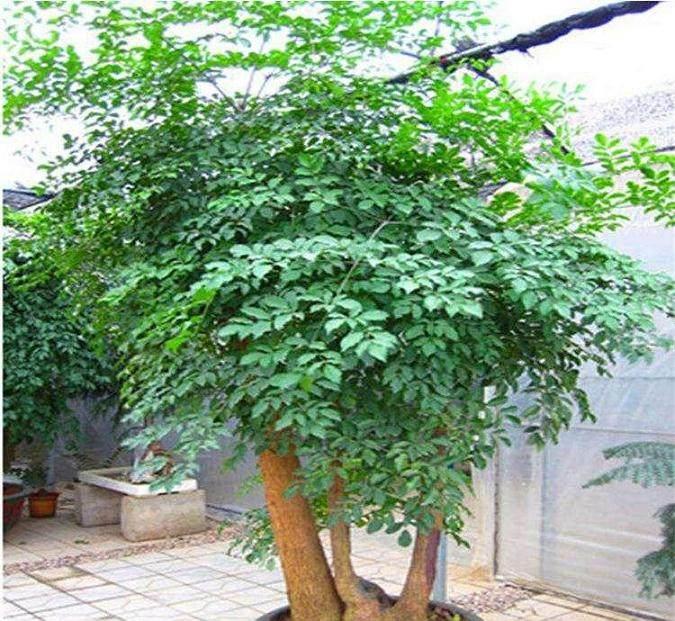 幸福树盆栽换盆用什么土最好?