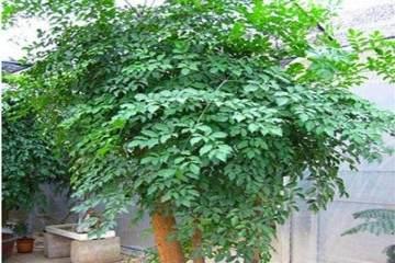 幸福树盆栽换盆用什么土最好 图片