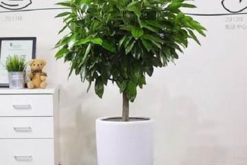 平安树盆栽换盆后叶子下垂 有4个原因