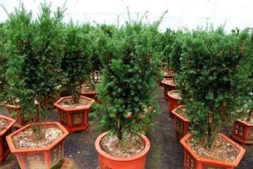 红豆杉盆景换盆后 枝干枯萎 有4个原因