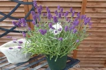图解 给薰衣草盆栽换盆的4个步骤 图片