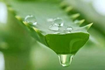 如何给刚换盆的芦荟盆栽浇水?看这5步