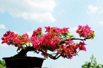 三角梅盆景的换盆时候与要点 图片