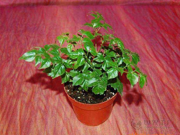 幸福树盆栽换盆后叶子蔫了怎么办?
