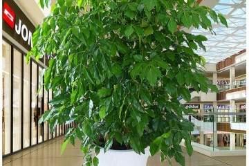 幸福树盆栽换盆的5个步骤 图片