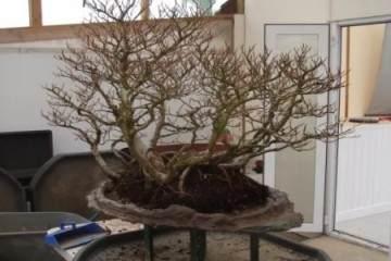 图解 榉树盆景换盆的方法 12幅