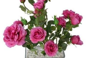盆栽玫瑰的换盆时机与方法 图片