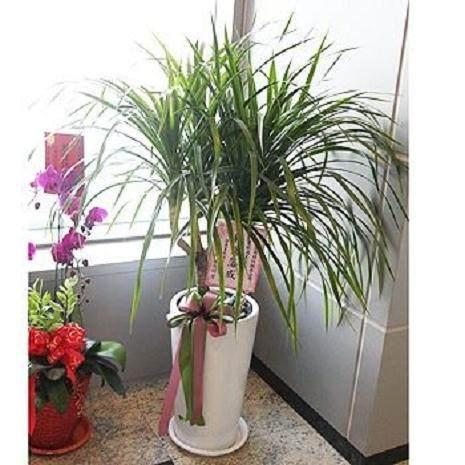 龙血树盆栽换盆方法和5个注意事项