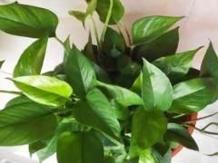 绿萝盆栽怎么换盆修根呢?看这6个步骤