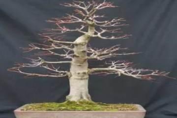 图解 枫树盆景怎么换盆的方法 27幅图