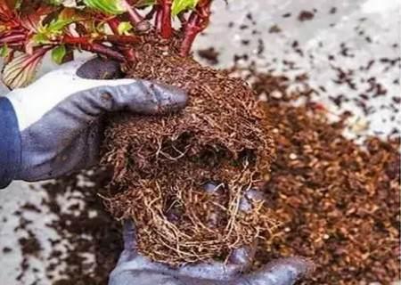 如何给植物换盆图解1
