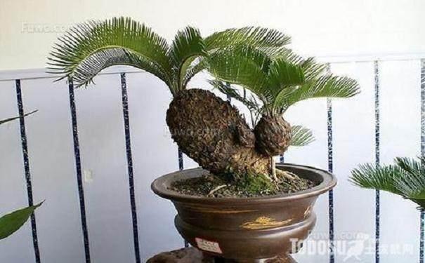 盆栽铁树换盆的3个注意事项