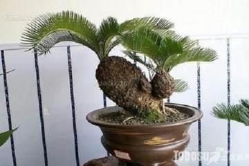盆栽铁树换盆的3个注意事项 图片