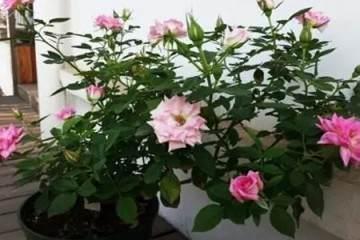 盆栽月季春天为什么要换盆换土 图片