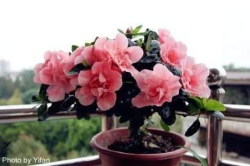 盆栽杜鹃花换盆的4个方法 图片