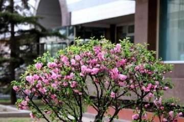 盆栽榆叶梅怎么换盆 图片