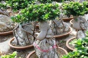 怎样给人参榕盆景换盆的方法 图片