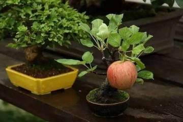苹果盆景翻盆在春季萌芽前进行最好